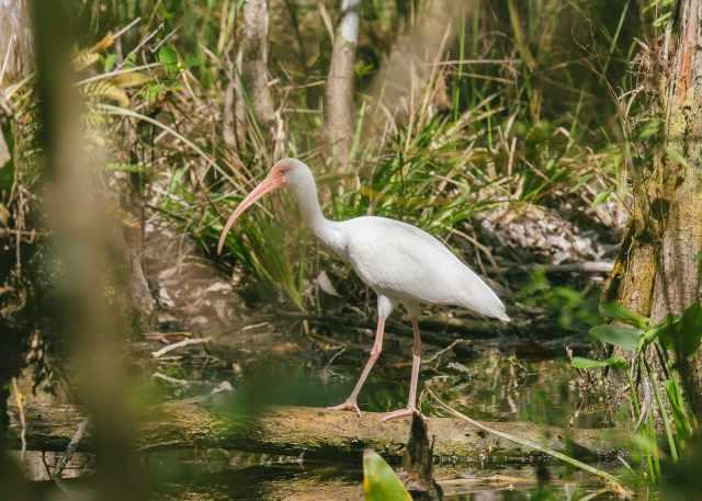 American white ibis, a white bird in the Everglades by Matthew T Rader