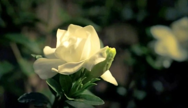 Blooming Gardenia Flower Time-lapse Video Over A 24-Hour Period