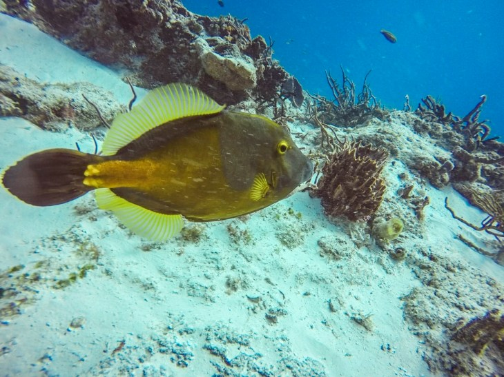 Whitespotted Filefish in Cozumel