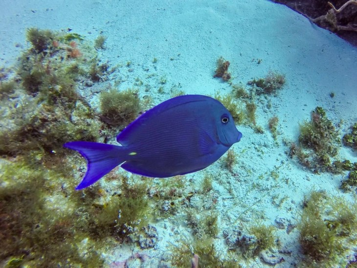 A Blue Tang in Cozumel