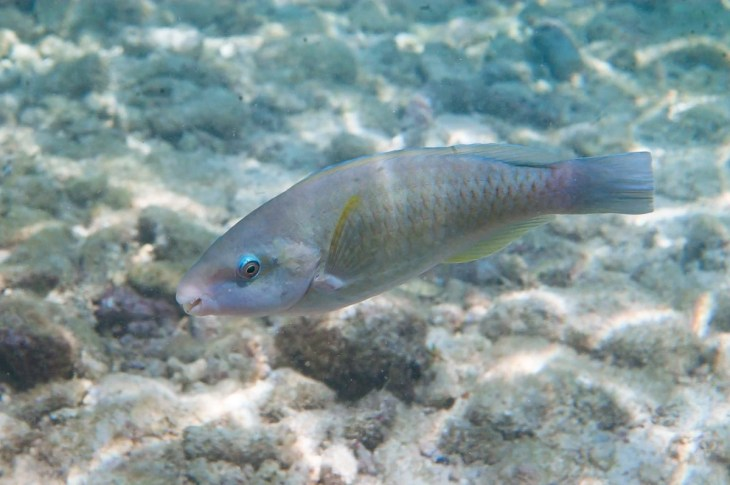 Parrotfish in Curacao