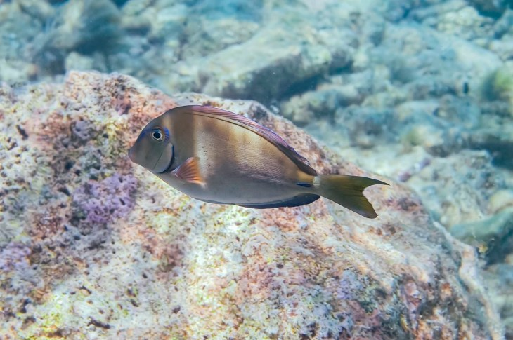 Doctorfish in Curacao