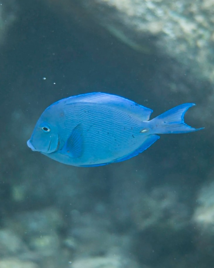 Atlantic Blue Tang fish in Curacao