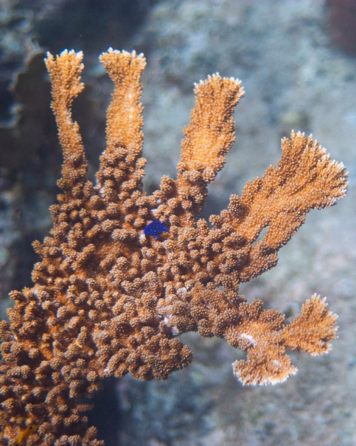 Elkhorn Coral with a Yellowtail Damselfish in Curacao