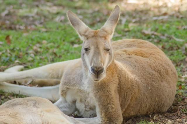 Kangaroo at the Healesville Sanctuary