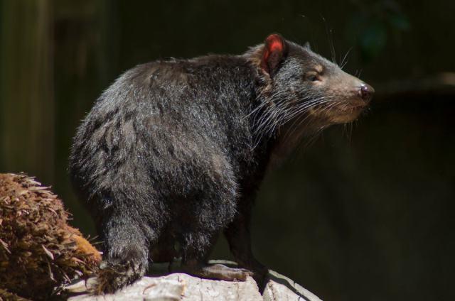 Tasmanian devil at the Healesville Sanctuary