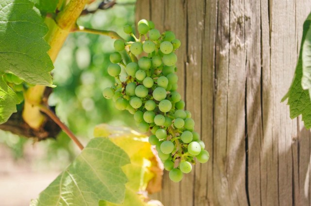 Baby grapes at a winery in the Yarra Valley, Australia