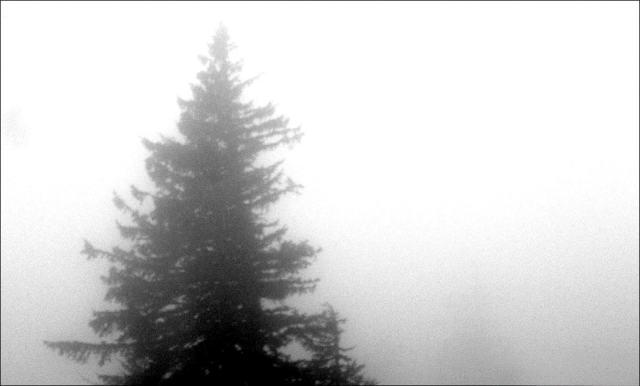 Tree in Fog in Alaska