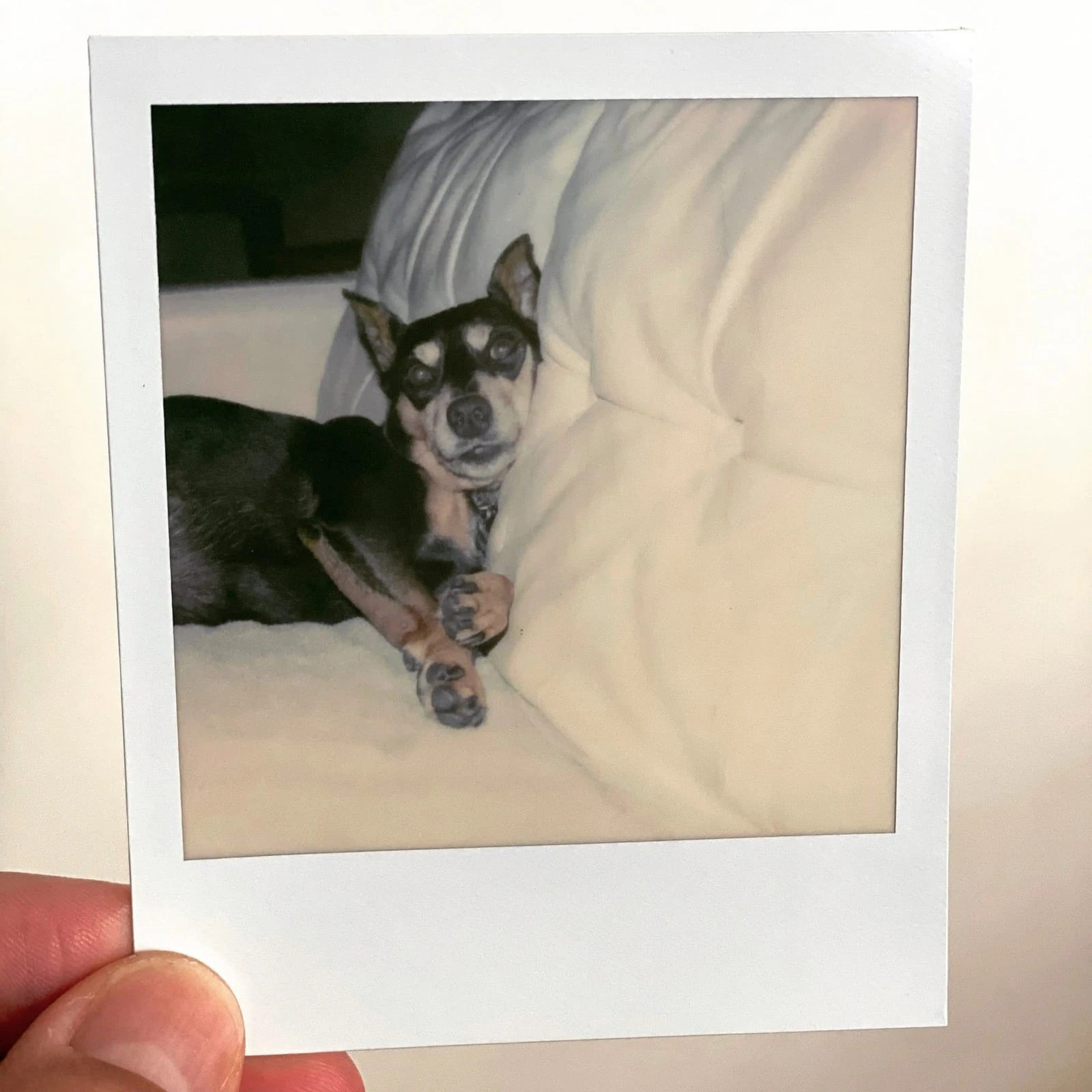 A Polaroid of Gambit, our miniature pinscher