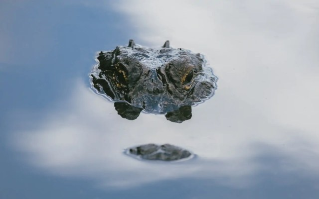 An alligator peeking above the water in the Florida Everglades. 2020 Best Photos.