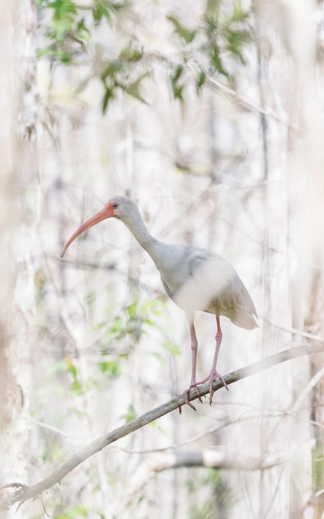 An American white ibis on a tree branch in the Everglades