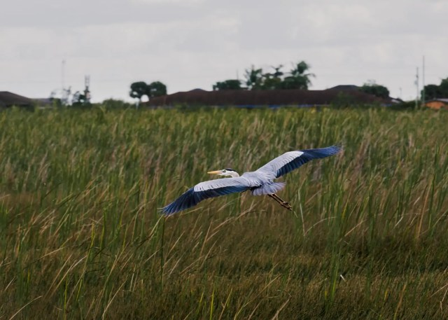 A Great blue heron in mid-flight in the Everglades