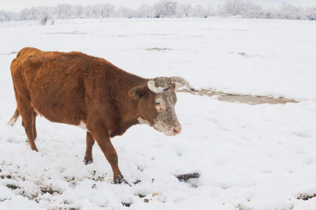 A cow walking in snow