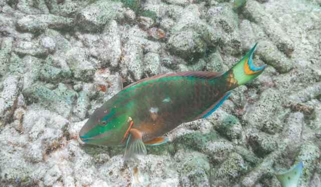 Stoplight Parrotfish (Sparisoma viride) in the Caribbean Sea