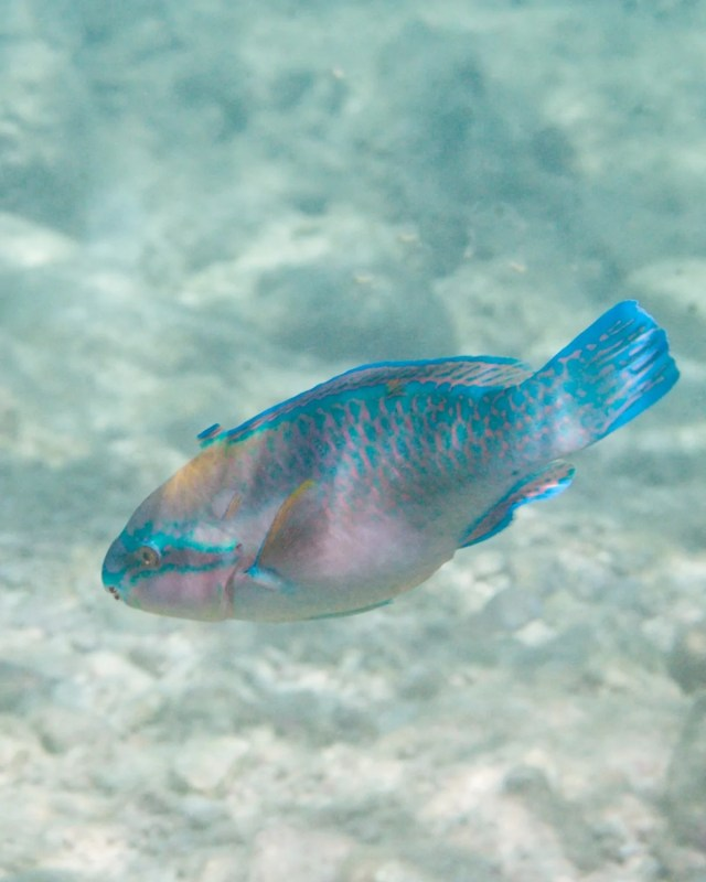 Queen Parrotfish (Scarus vetula) in the Caribbean Sea