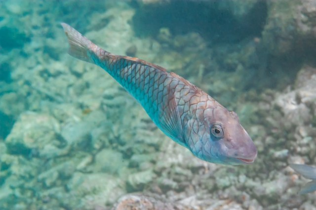Yellowtail Parrotfish (Sparisoma rubripinne) in Curacao, Underwater Photography