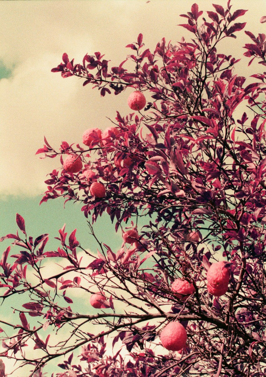 Surreal LomoChrome Purple image of pink lemons taken on Olympus Pen FT