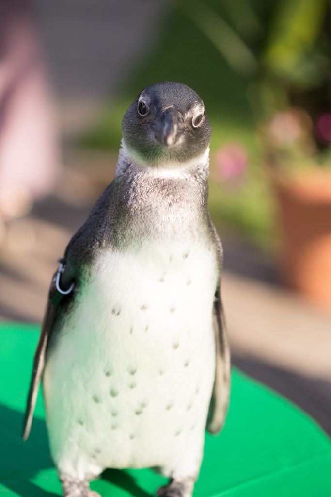 penguin joins the reception for a wedding at the Pittsburgh National Aviary