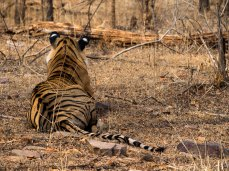 Female Bengal Tiger, Rathambore NP