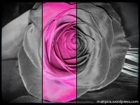 Rosa San Jordi