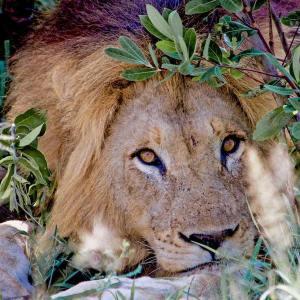 Kindness Quotes Lion