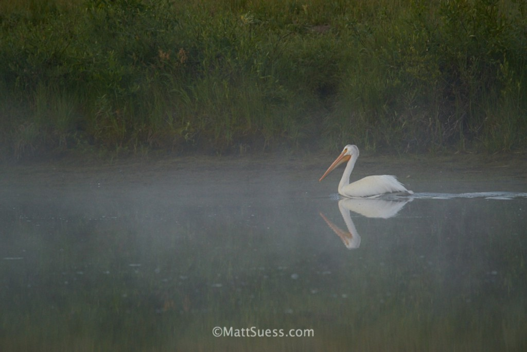 An American White Pelican floats along the river near Mount Moran at Grand Teton National Park in Wyoming.
