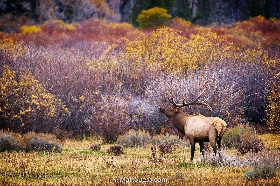Elk Bull Bugle - Grand Teton National Park, Instagram post date: 02-09-2017