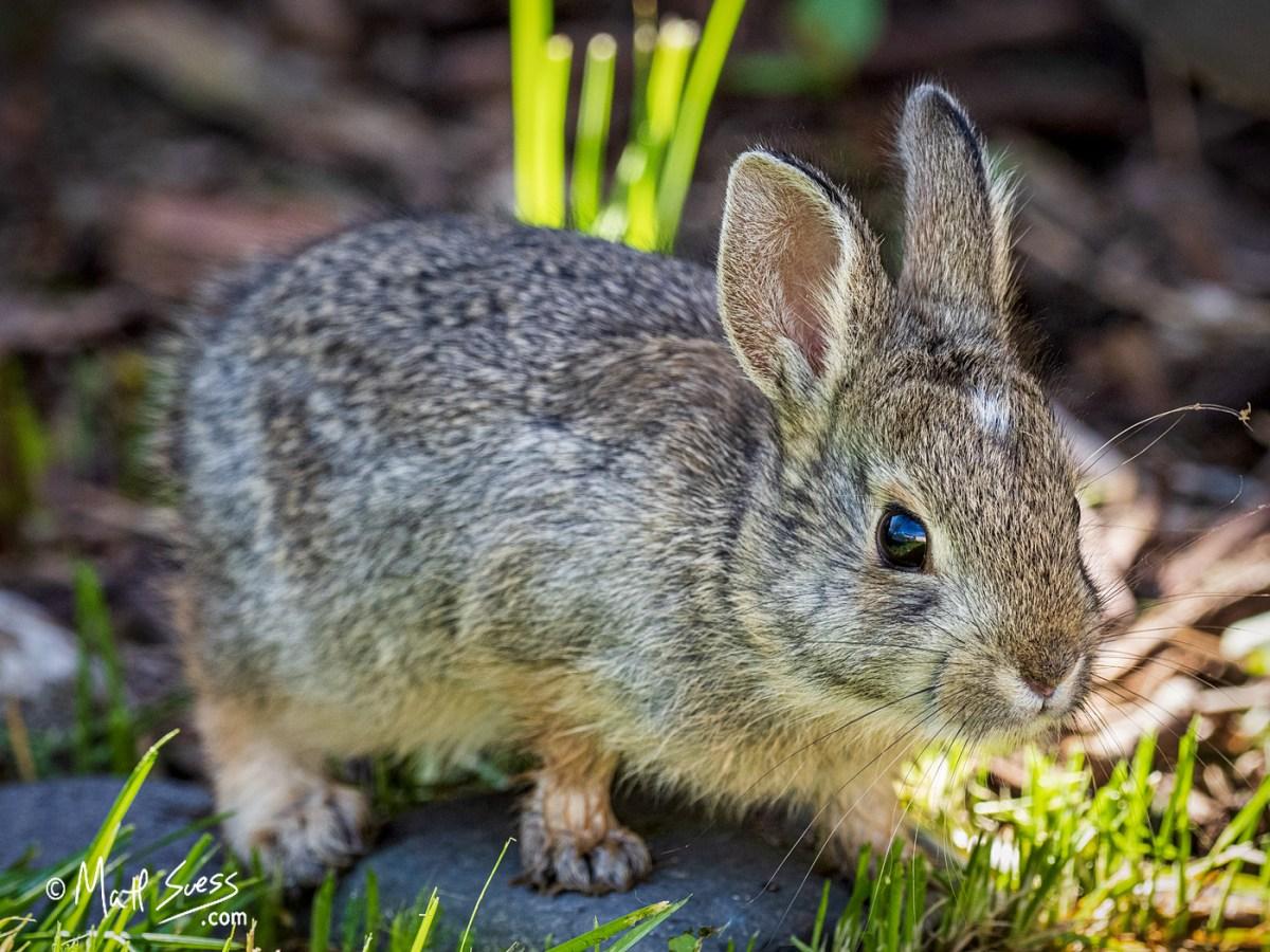 Baby Mountain Cottontail Rabbit