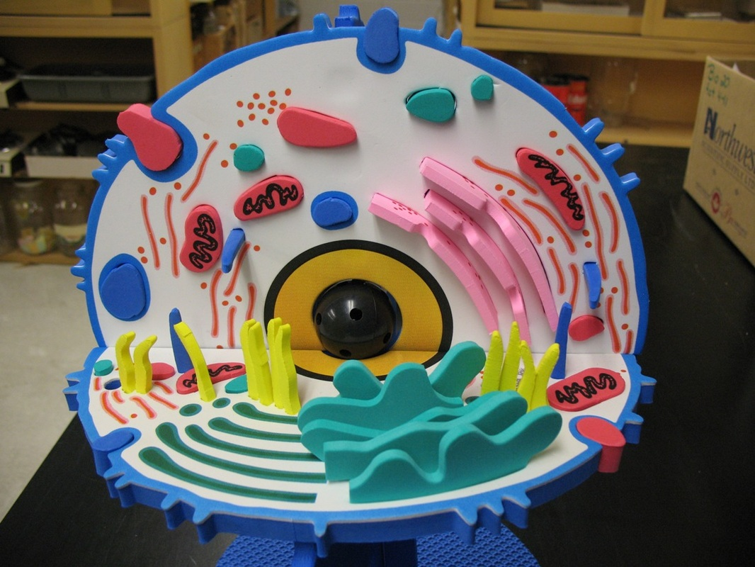 This Is A Plant Cell Diagram Not All Plant Cell