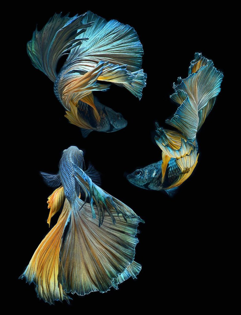 Photo by Visarute Angkatavanich. See more at  http://www.thisiscolossal.com/2014/09/siamese-fighting-fish-visarute-angkatavanich/