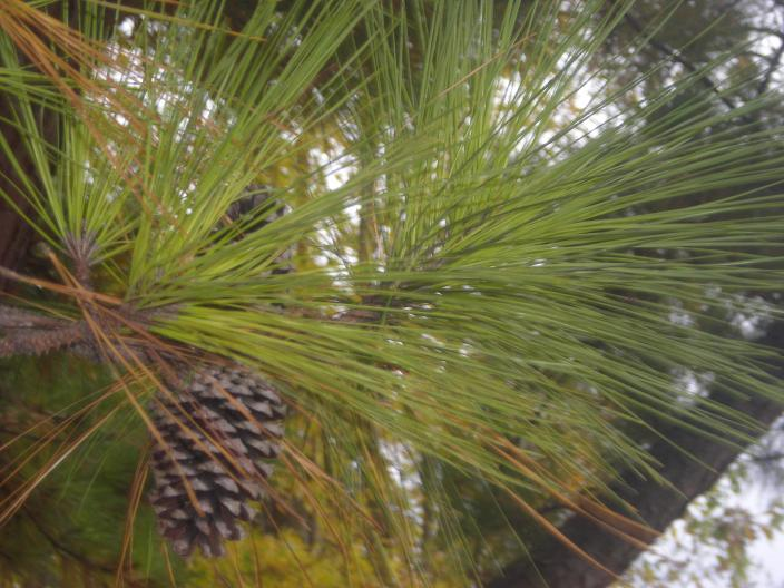 Wild Arkansas: Pine Needle Tea (2/2)
