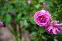 岩見沢公園バラ園 紫バラ