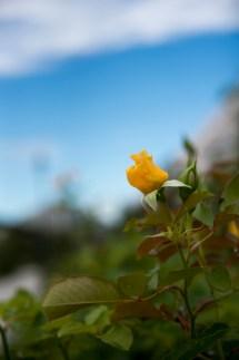 岩見沢公園バラ園 黄バラ