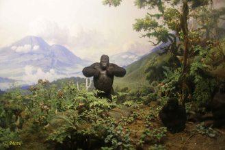 African Mammals - Gorilla