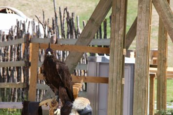 Hunting falcon presented for the tourist viewing!