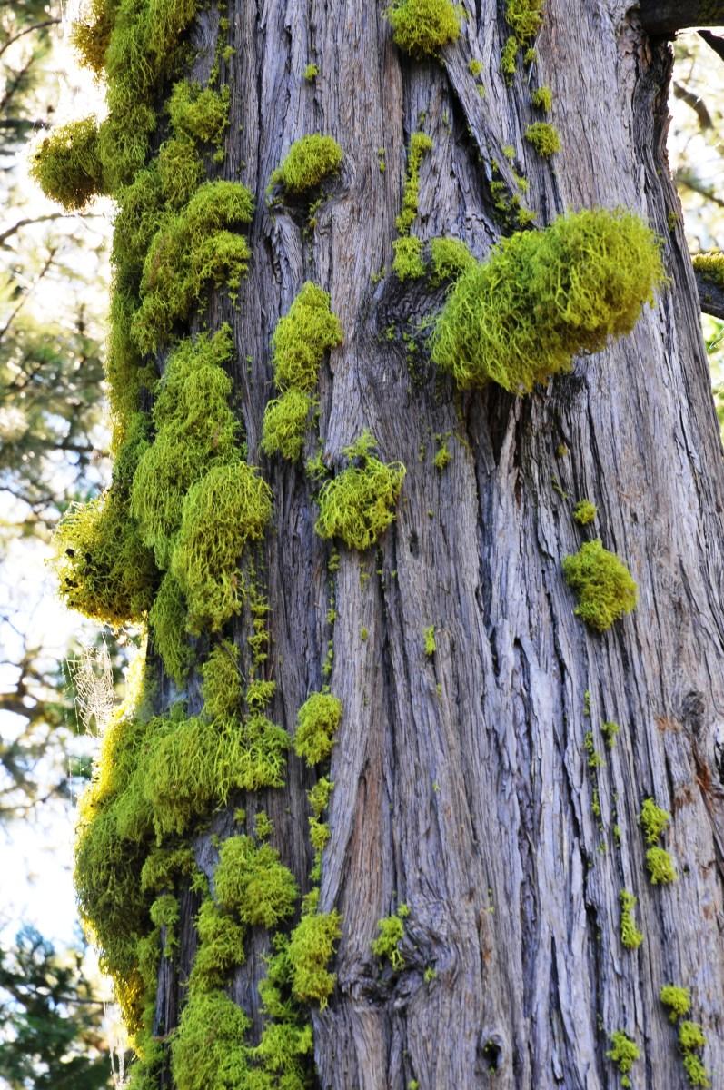 pine crest