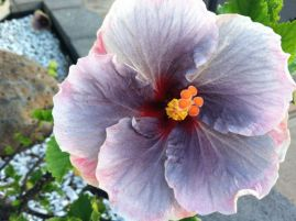 purple hibiscus with orange center