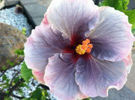 purple hibiscus with orange center