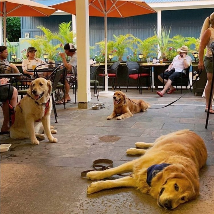 Dog Friendly Restaurants Lahaina HI - Maui Happy Hours - Friendly Golden Retrievers at the Bar Having Fun