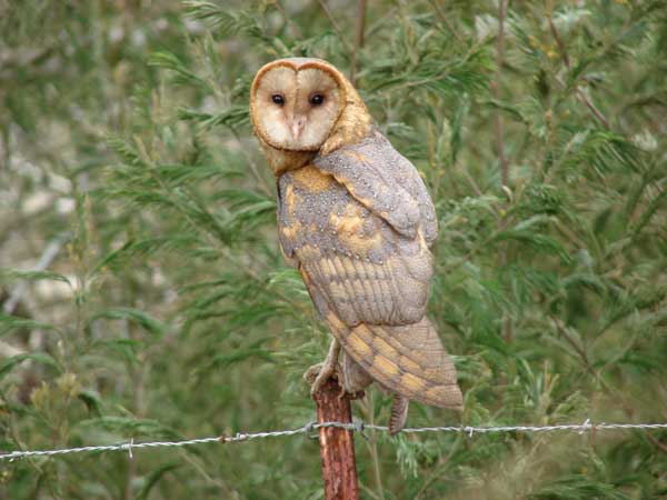 Pueo or barn owl: here's the difference — Maui Invasive Species