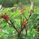 Christmas berry, aptly named for its festive foliage, is a major pest in Hawaiian mesic forest. Photo by Forest and Kim Starr