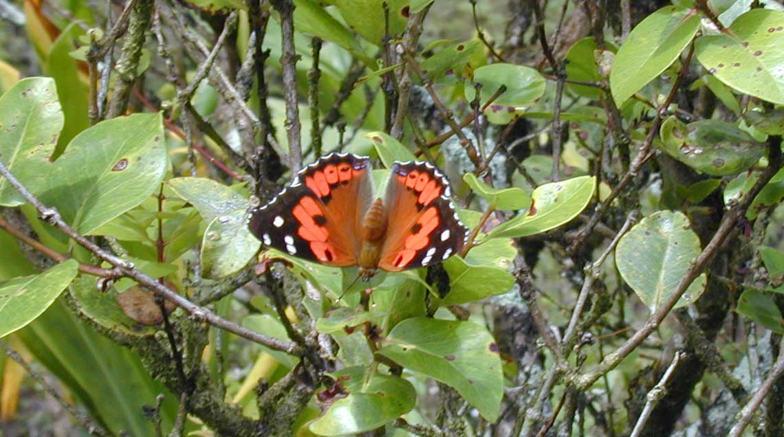 Tidsmæssigt Mapping the Kamehameha butterfly with your help — Maui Invasive WE-45