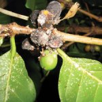 fungus on coffee infested with little fire ants