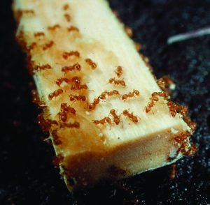 Little fire ants on the large end of a chopstick. Photo courtesy of the Hawaii Department of Agriculture.