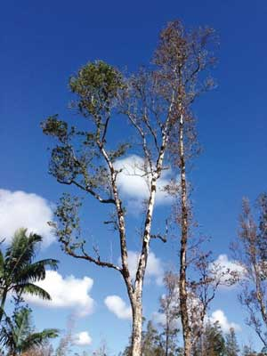 Symptoms can appear in a single branch or the entire canopy of a tree. Pruning the affected brance will not save the tree since the Ceratocytis fungus is already established in throughout the tree. Photo by J. B. Friday