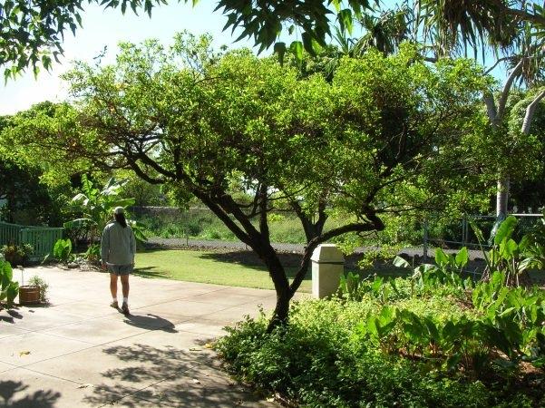 U0027Au0027aliu0027i, Or Dodonaea Viscosa, Is One Of The Hawaiian. U0027