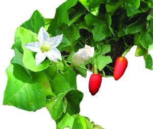 Ivy gourd can be identified by the 5-petaled flowers and green fruit that turn red as they ripen, hanging like Christmas lights from the plant. Photo by MISC