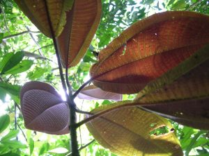 Large miconia leaves act as umbrellas, shading out sunlight