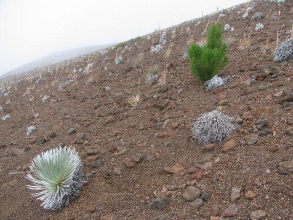 Monteray pine (Pinus radiata) growing inside Haleakalā crater alongside silverswords. There have been a flush of pine seedlings inside the crater in the last few years. Forrest and Kim Starr photo.