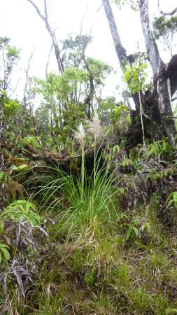 young, but mature, pampas grass in a mostly native rainforest